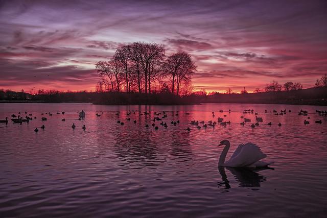 A Swan glides across the Loch.