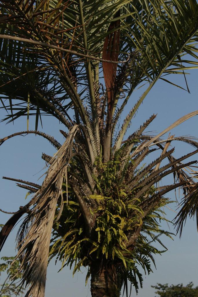 Syagrus coronata (Mart.) Becc.-008