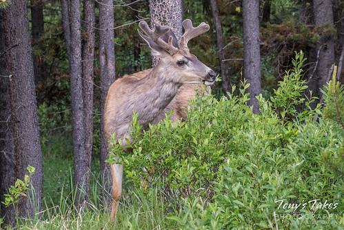 Mule Deer buck in the brush | by TonysTakes