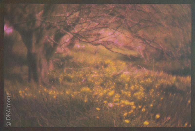 Dandelions in a Monhegan Meadow