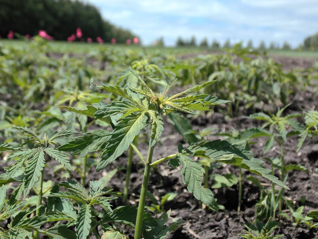 Small hemp plant growing outdoors in a field