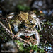 Flickr photo 'Pacific Chorus Frog (Pseudacris regilla)' by: DaveHuth.