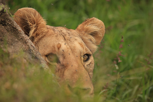 Peekaboo! - Lioness peeks from a pipe where she had stashed a kill. Our vehicle was stopped just over the pipe which ran under the road. Maasai Mara, Kenya, 2012