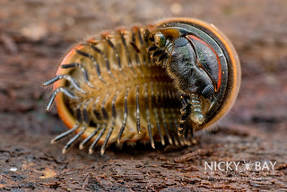 Pill Millipede (Zephroniidae) - DSC_0506 | by nickybay
