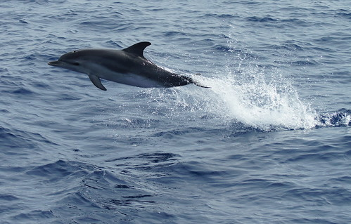 Spotted Dolphin | by tim ellis