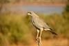 Eastern Pale Chanting Goshawk (Melierax poliopterus) by MarthaMutiso