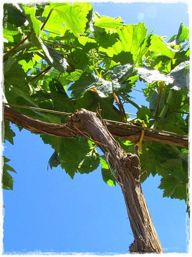 Vibrant gree vine, azure blue sky | by Seven Springs Vineyard