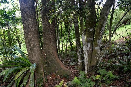countryside bark stems trunk treebark trunks redcedar lauraceae jackwood meliaceae arfp australianrainforestplants toonaciliata nswrfp qrfp cryptocaryaglaucescens subtropicalarf dryarf warmtemperatearf spurbuttresses