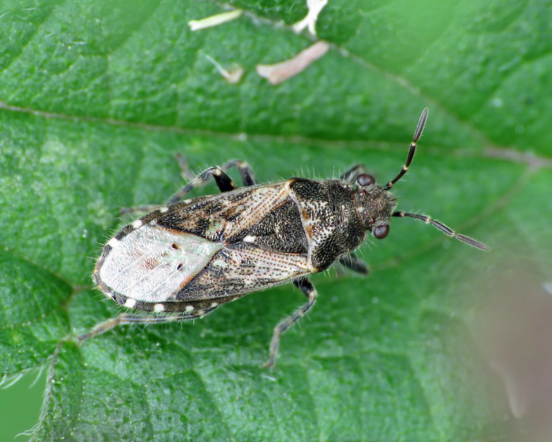 Nettle Groundbug - Heterogaster urticae