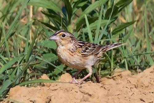 bird nature canon geotagged newjersey nj grasshoppersparrow rancocascreek canon400mmf4do canon7dmk2 lauralrunpark