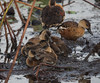 Wandering Whistling Ducks and ducklings (Dendrocygna arcuata).01 by Geoff Whalan