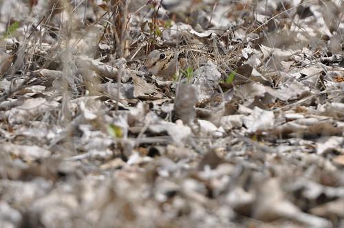 female woodcock on nest