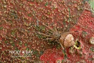 Comb-Footed Spider (Moneta sp.) - DSC_5213