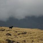 Wild goat, Maui