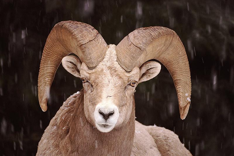 Wildlife in British Columbia, Canada: Bighorn Sheep
