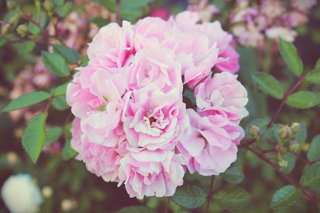 Rosas en el camino