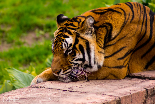 Sleepy Tiger (Explored) | by rcpromike