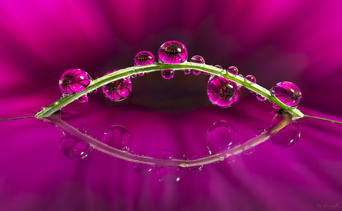 flower macro reflection nature water grass purple extreme magenta refraction droplet colourful mpe donkom