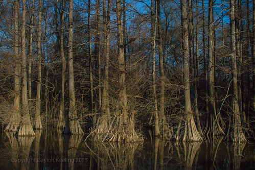 woods louisiana swamp cypresstrees baldcypress frenchtownroadconservationarea louisanastatetree