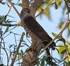 Brown Goshawk (Accipiter fasciatus) (50 centimetres).02 by Geoff Whalan