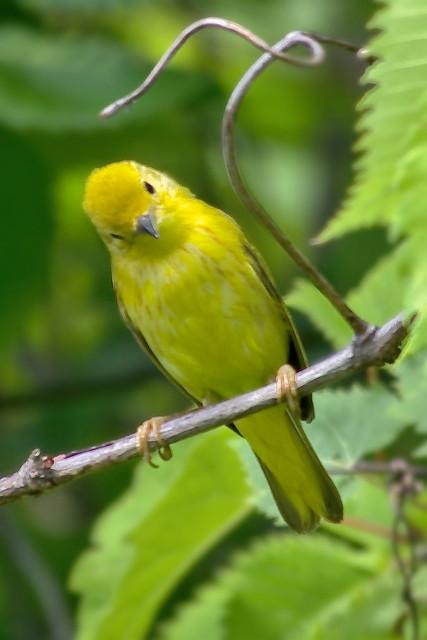 Paruline jaune -- --  American yellow warbler -- -- Reinita de manglar