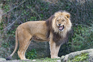 The male lion looking a bit angry | by Tambako the Jaguar