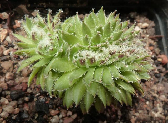 Sempervivum 'Fuzzy Wuzzy'  cristata