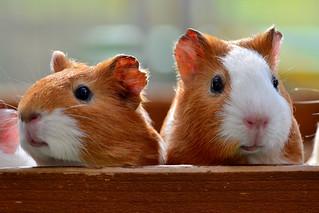 野毛山動物園のモルモット (Guinea-Pigs Nogeyama Zoo) | by Dakiny