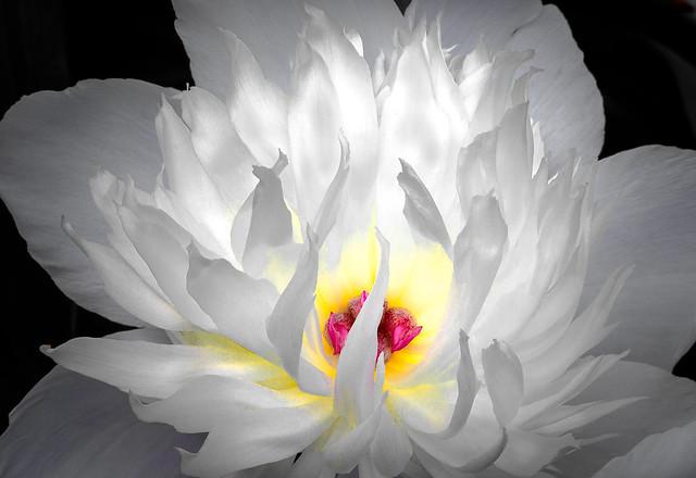 Beautiful White Peony III - Flame and Light.....