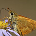 close up of a skipper butterfly nectaring at a smooth aster.