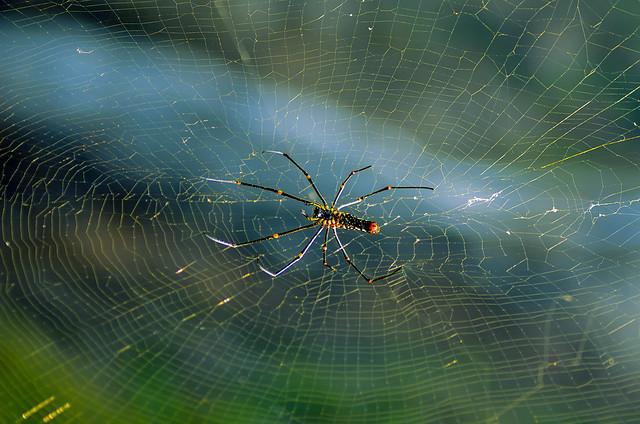 Delicate Spider