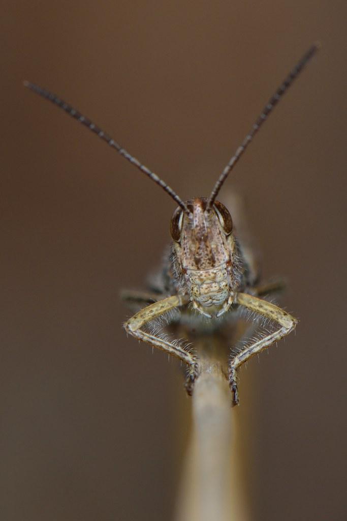 Grasshopper Bremen
