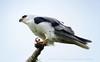 White-tailed Kite (Elanus leucurus) by Daniel Mclaren .:. Naturalist Guide CR