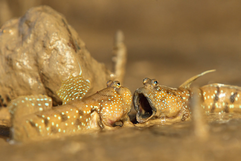 Blue-Spotted Mudskippers Fighting