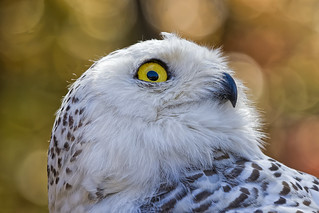 Snowy Owl_DSC2402