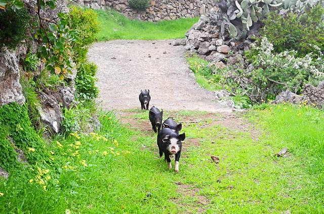 The piglets, El Hierro