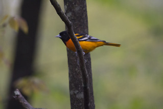Baltimore Oriole | by Birding In New Jersey