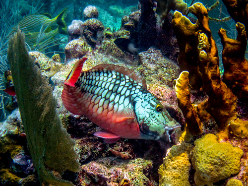 Parrot fish on coral reefs   by Oregon State University
