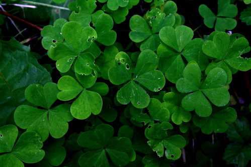 clovers | by a-md