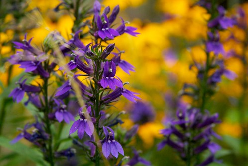 lobelia gerardii  3472 | by Scott Weber PDX