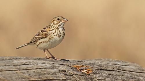 Vesper Sparrow | by Ryan Schain