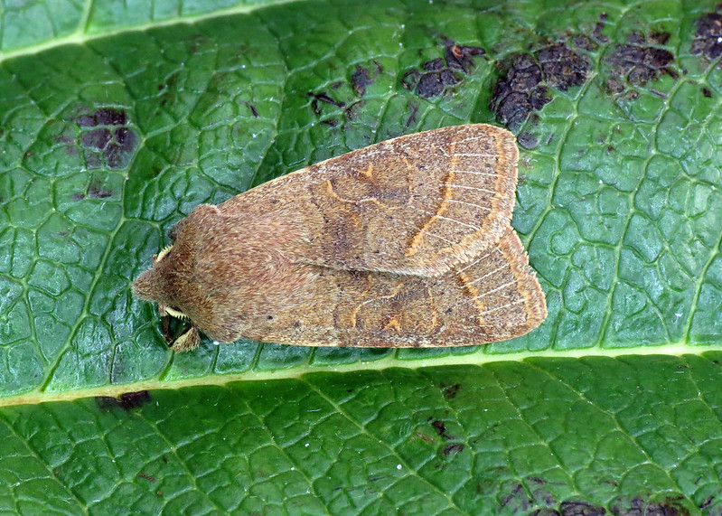 2187 Common Quaker - Orthosia cerasi
