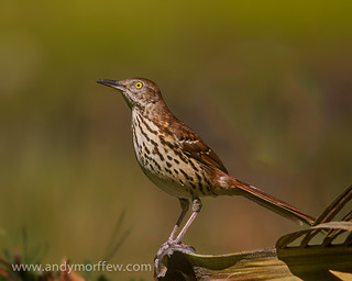 Brown Thrasher | by Andy Morffew
