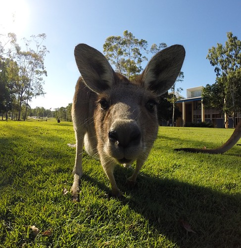 So chill #4, Kangaroo, USC Sippy Downs campus