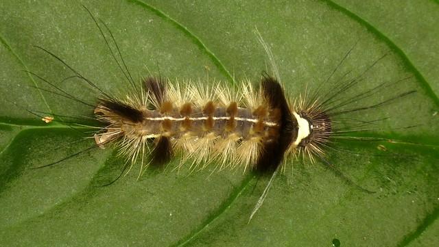 Hairy caterpillar, Carales astur?