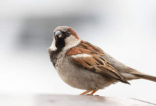 House Sparrow at Bar Harbor | by Laura Erickson