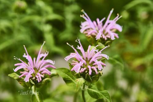 pink bee bloom balm