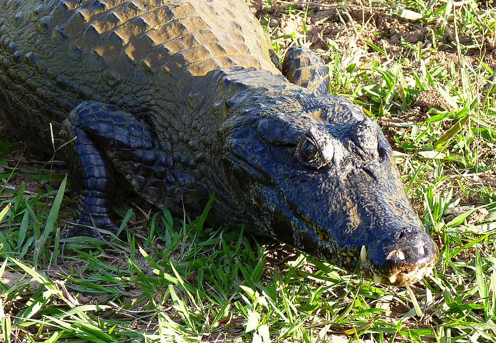 Krokodilkaiman, NGID375500287