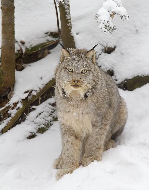 beautiful canada lynx