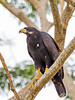 Common Black Hawk (Buteogallus anthracinus) by Kester Clarke